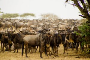 the best time to see the great wildebeest migration in serengeti